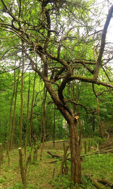 Apple wood lo res